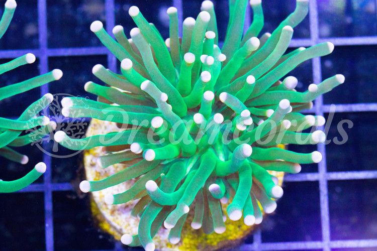 Toxic green Euphyllia Torch