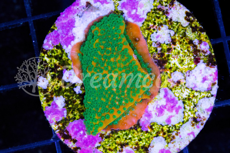 WWC GOLDEN RUSH MONTIPORA