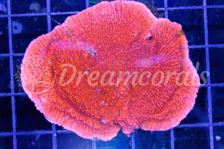Red Montipora