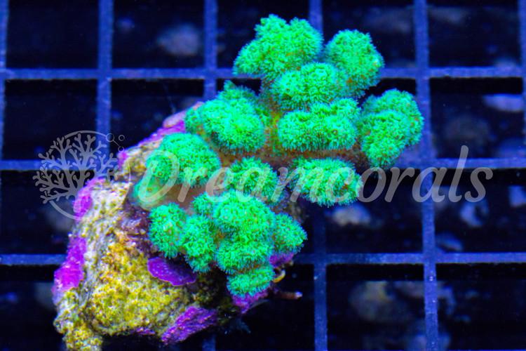 Pocilophora Meangreen