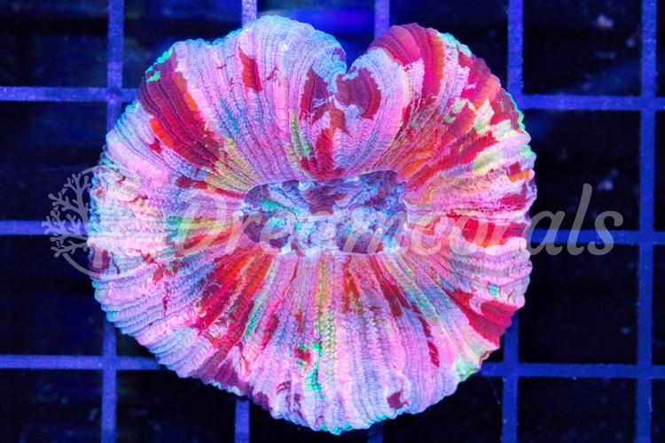 Rainbow Trachiphyllia