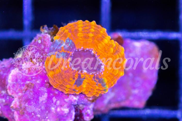 Acanthastrea Echinata Multicolor (nano)
