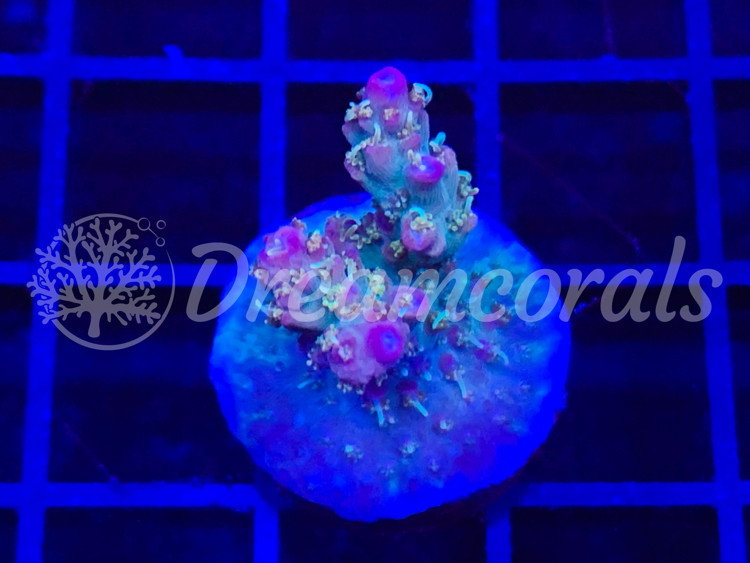Confetti Acropora (grafted)