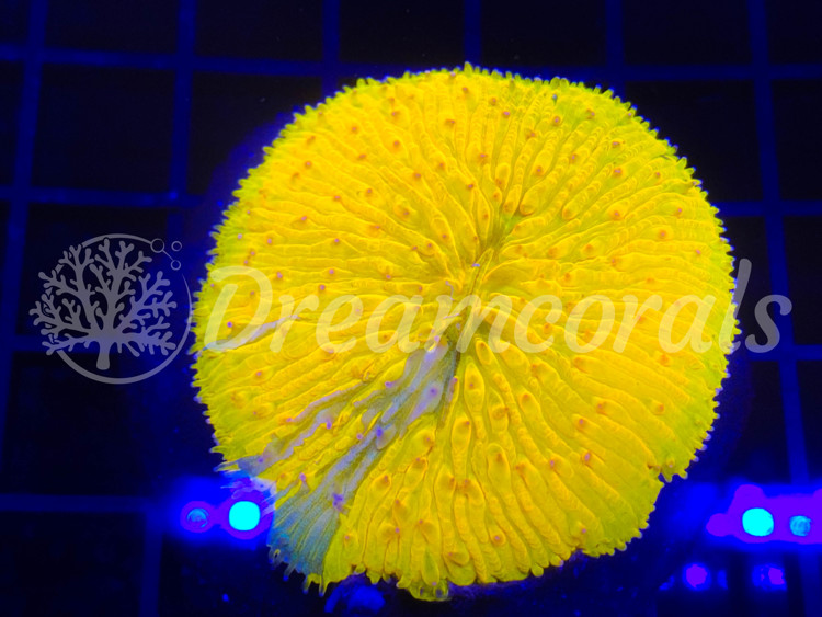 Grafted Fungia coral