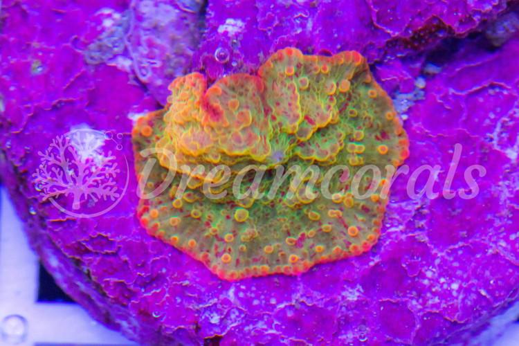 Jawbreker 3 colors (nano)