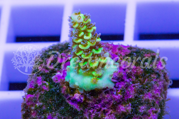 Yellow Hornet Acro (nano)