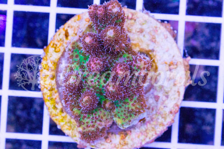 Red planet Acropora