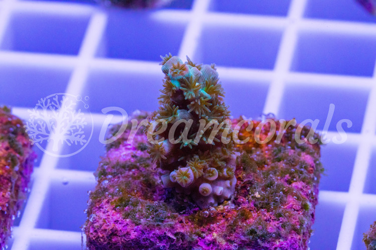 Homewreker Acropora (nano)