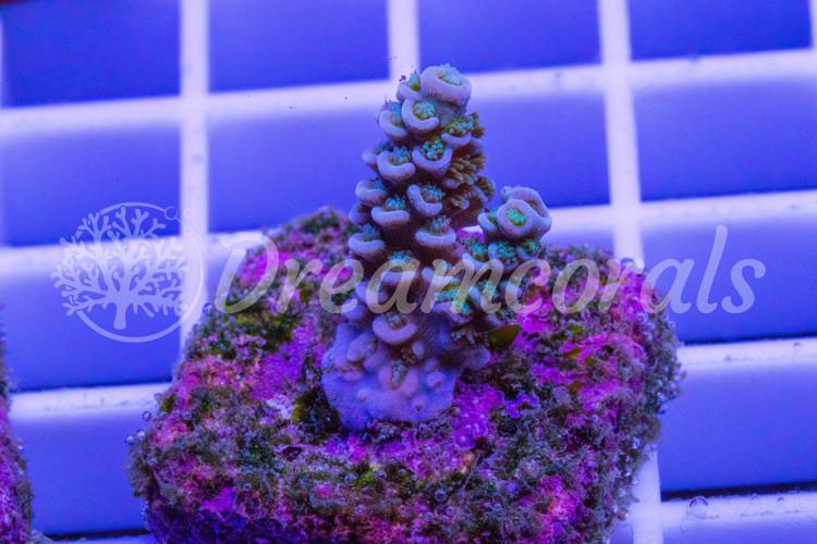 Rainbow Tenuis  Acropora (nano)