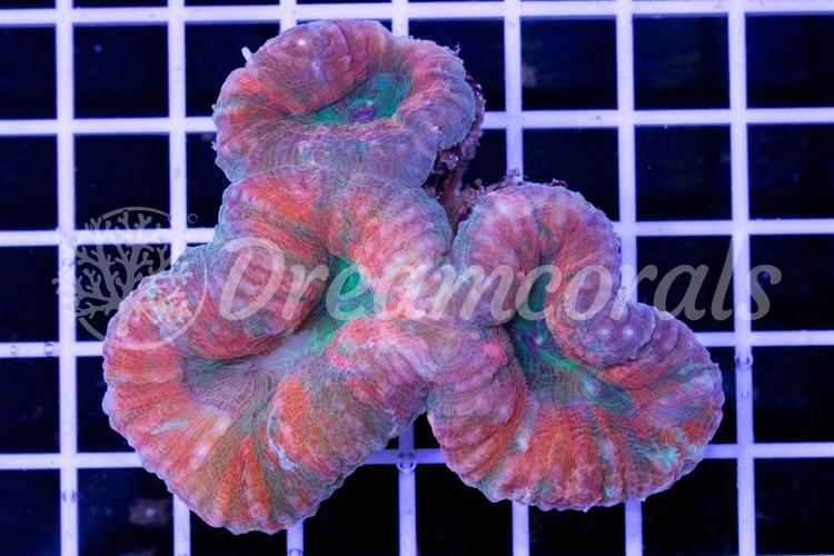 Lobophyllia Multicolor