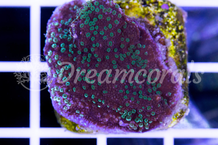 DC Dark Magic Montipora