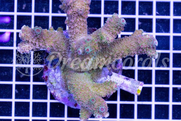 indo Acropora 100% Aquaculture