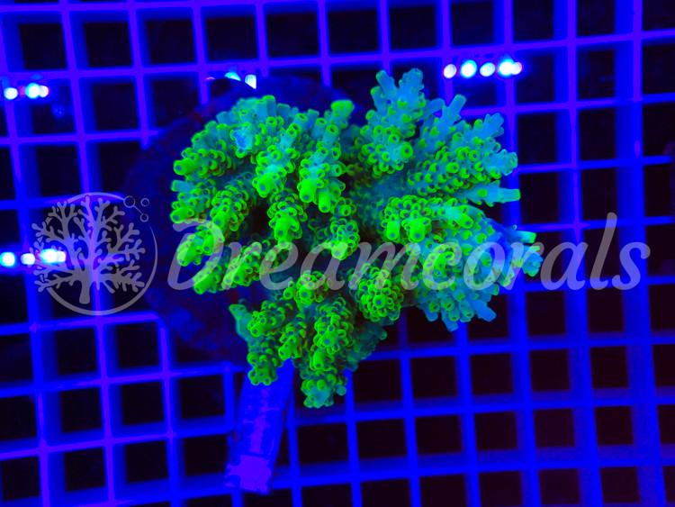 indo Acropora tenuis 100% Aquaculture