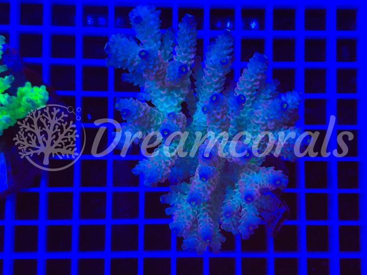 walt disney  Acropora Colony