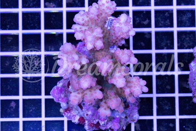 Pink Loripes Acropora100% Aquaculture
