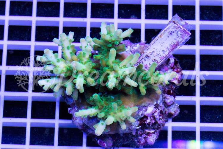 Loripes  acropora 100% Aquaculture