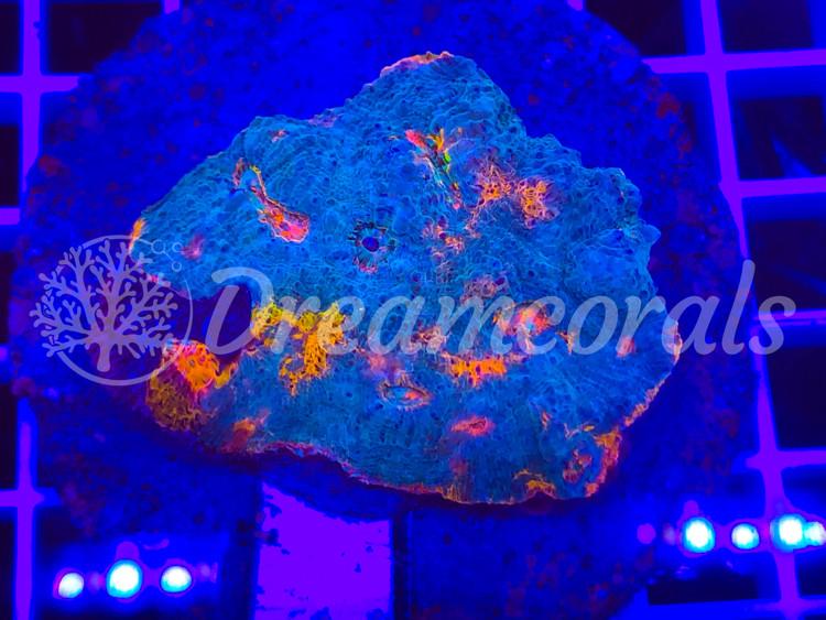 Ktar Oranji Chalice Mother colony