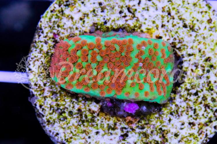 Aquaman Montipora