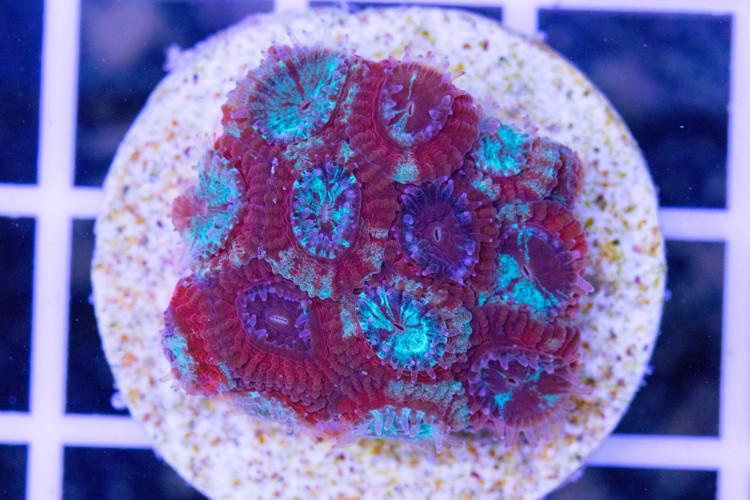 Ultra Marbled  Favia