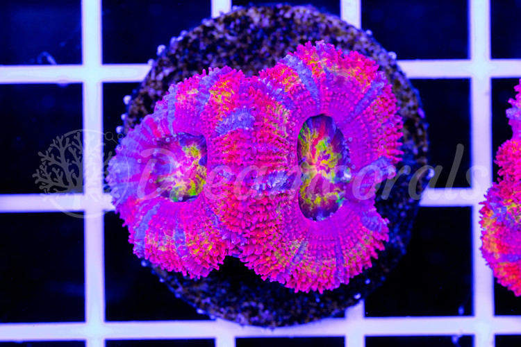 Ultra Rainbow Acanthastrea Lordhovensis