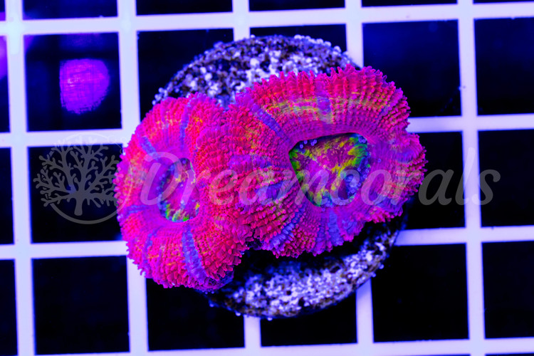 Ultra Rainbow Acanthastrea Lordhovensis