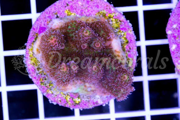 Rainbow Millepora
