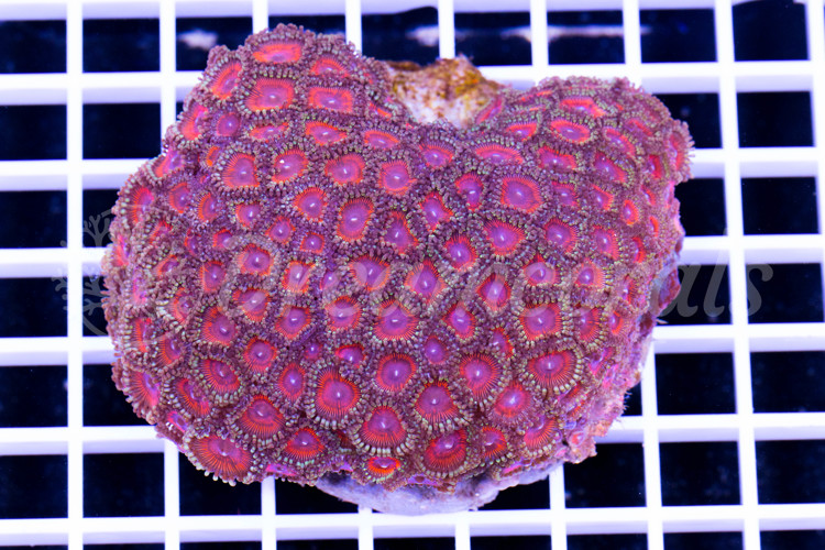 Indo Palypthoa Zoanthus 100% Aquaculture (Mother Colony)