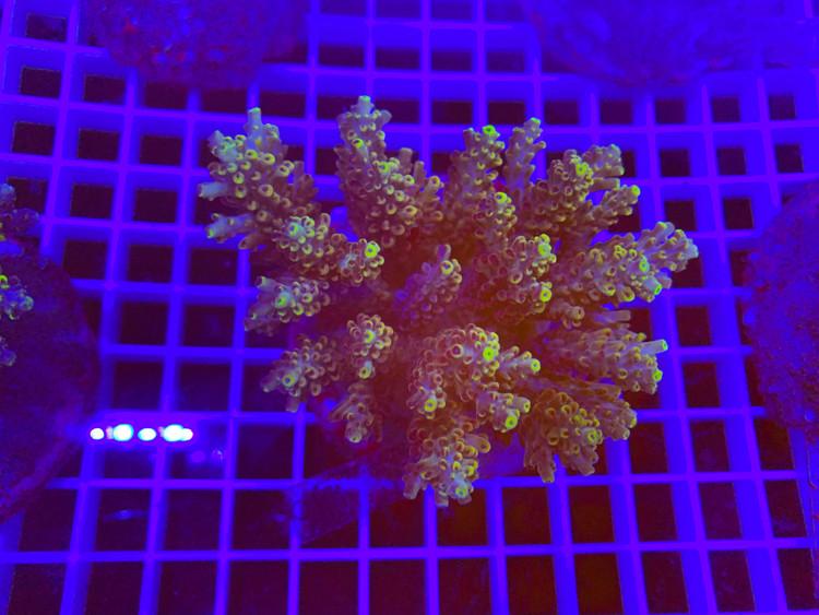 Indo Acropora 100% aquaculture (mother colony)