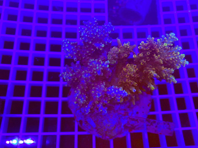 Indo Mix  Acropora 100% aquaculture (mother colony)