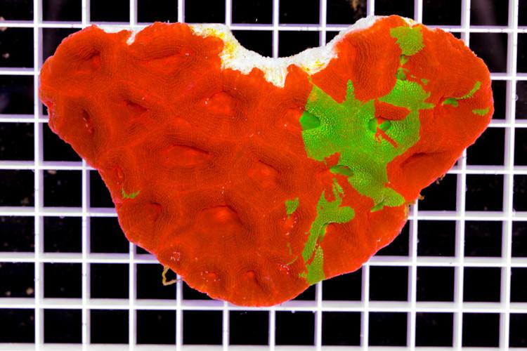 Bleeding Apple  Bowerbanki Acanthastrea (Mother Colony)