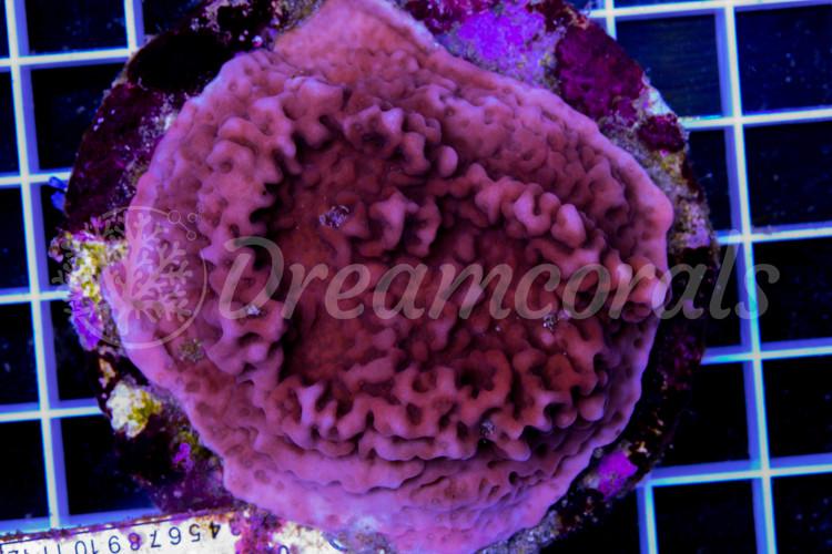 Montipora palawanensis Pink 100% aquaculture