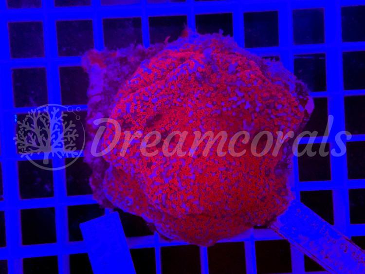Rainbow Montipora 100% aquaculture