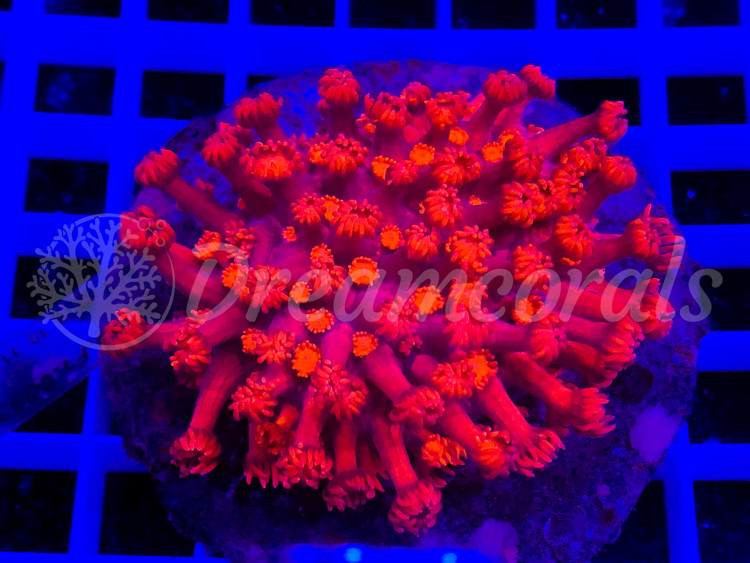 Strong Red Goniopora  Premium color XL