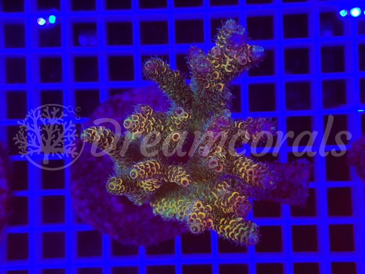 Indo Millepora 100% aquaculture (mother colony)