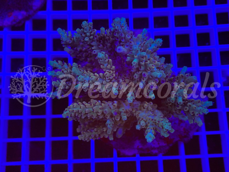 Indo Acropora 100% aquaculture (mother colony)