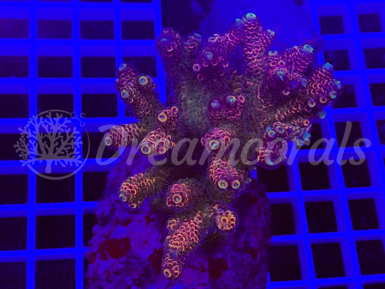 Indo Millepora 100% aquaculture (mother colony)