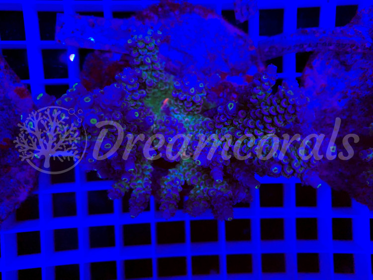 Rainbow tenuis  Acropora (mother colony)