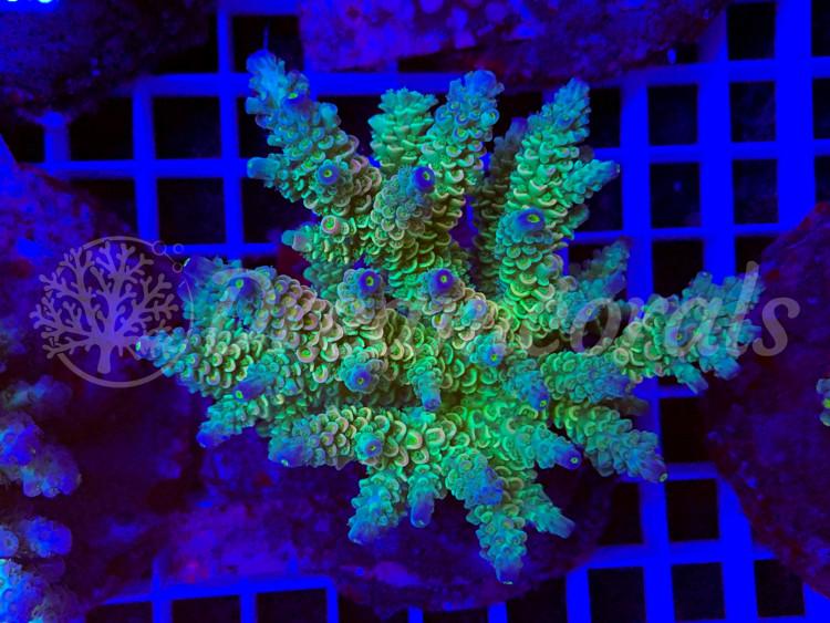 Homewreker  Acropora (mother colony)