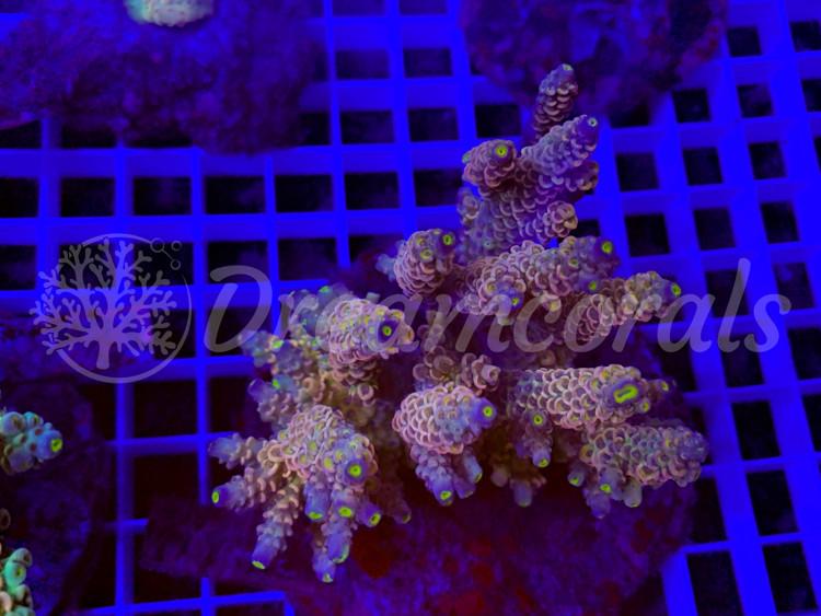 DC Orange  Acropora (mother colony)