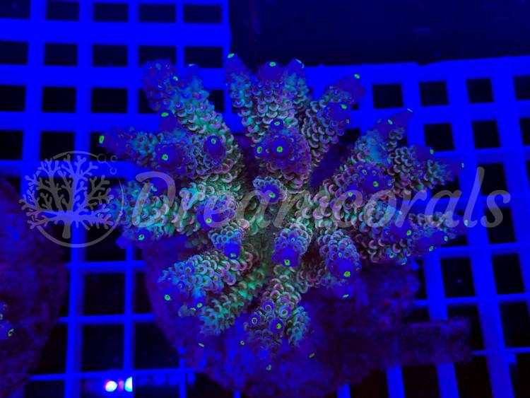 Walt Disney  Acropora (mother colony)