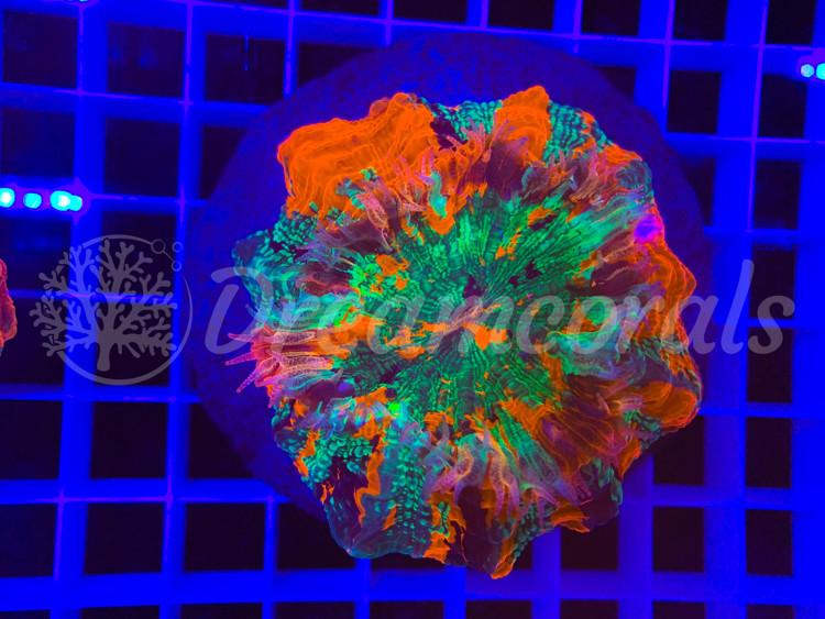 Acanthophyllia deshayesiana Rainbow