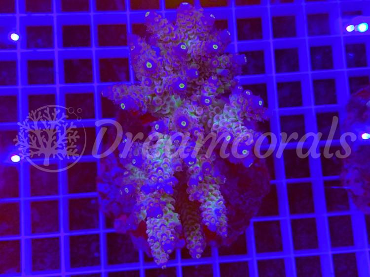 Walt Disney 100% aquaculture (mother colony)