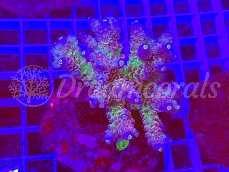 DC Walt Disney 100% aquaculture (mother colony)