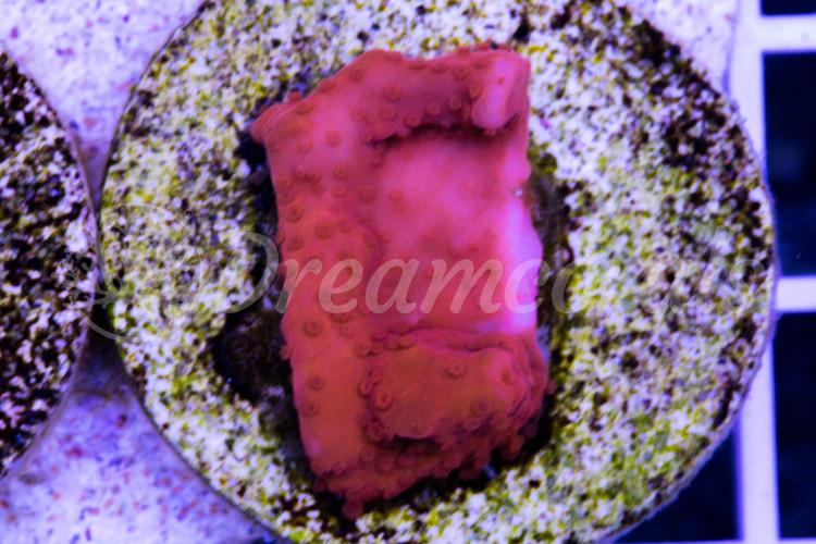 DC Red Setosa Montipora