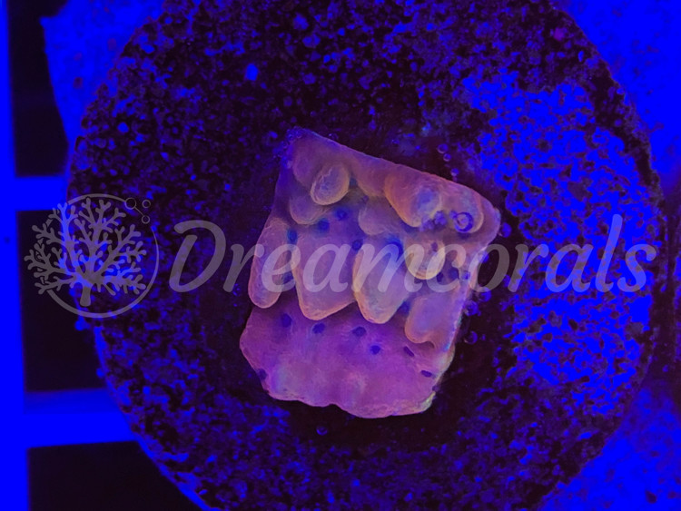 DC Altered Ego Montipora