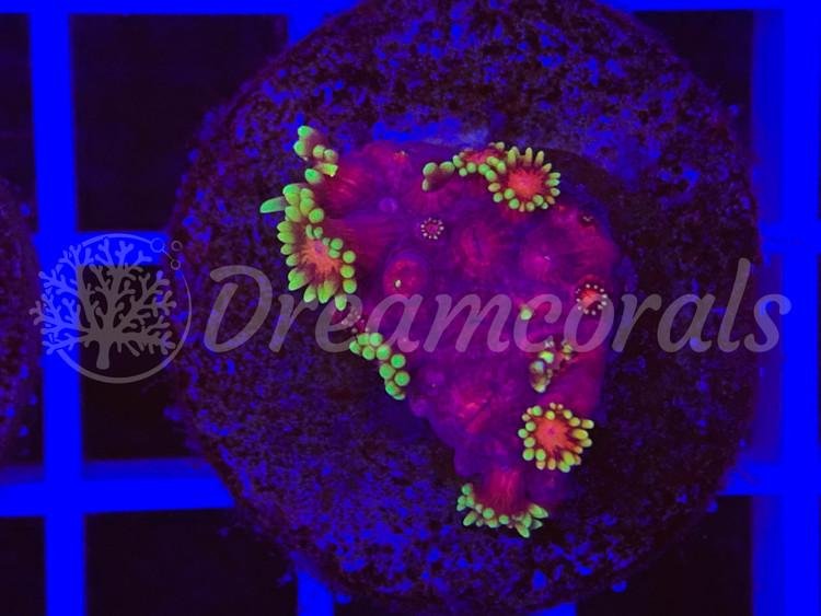 Mastergrade Goniopora (rare)