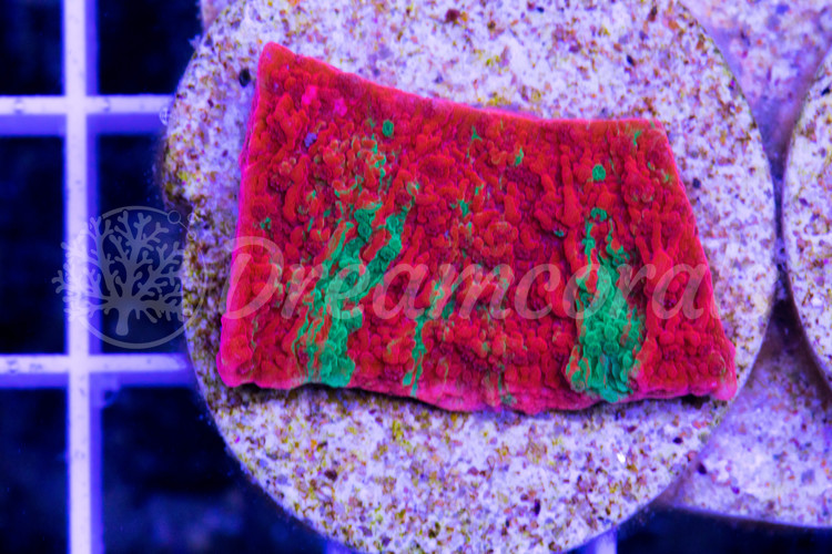DC Grafted Montipora