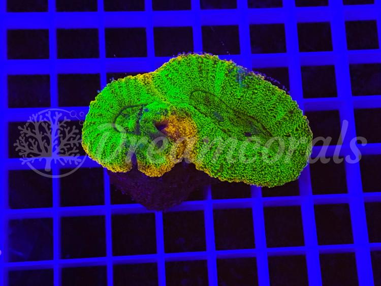 Rainbow Lobophyllia