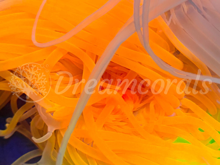 Toxic Orange Cerianthus anemone