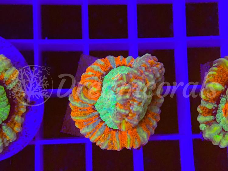 Symphyllia wilsoni Nano